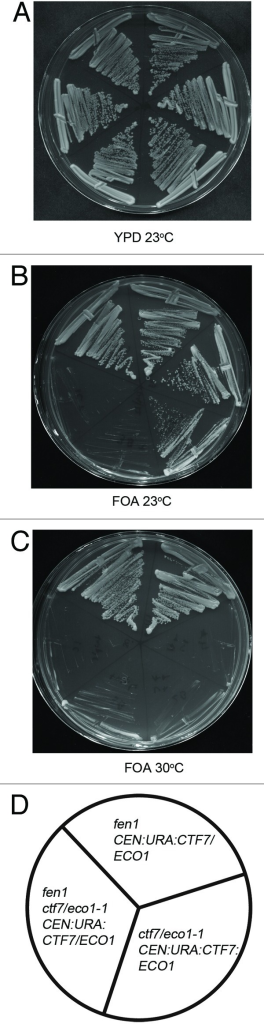 Figure 1.ctf7eco1–1 is synthetically lethal in combination with fen1. Yeast cells harboring ctf7eco1–1: ADE were crossed with fen1::KANr mutant cells and the resulting diploids were transformed with a CEN: URA3:CTF7ECO1 plasmid and sporulated. The resulting fen1 and ctf7eco1–1: ADE single mutants and fen1, ctf7eco1–1: ADE double mutants were plated on media with or without FOA (See also Table 1). Two independent isolates are shown for each strain. (A) Growth of fen1, ctf7eco1–1 single mutants and fen1::KAN ctf7eco1–1 CTF7: URA double mutants strains at 23°C on YPD. (B) Growth of fen1::KAN, ctf7eco1–1 single mutants and fen1 ctf7eco1–1: ADE CTF7: URA double mutants on FOA plates at 23°C. (C) Growth of fen1::KAN, ctf7eco1–1 single mutants and fen1 ctf7eco1–1: ADE CTF7: URA double mutants on FOA plates at 30°C (See also Fig. S1). (D) Schematic representation of fen1::KAN, ctf7eco1–1 single mutants and fen1 ctf7eco1–1: ADE CTF7: URA double mutant strains.
