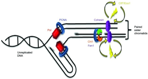 Figure 4. Cohesion establishment coupled to lagging strand processing. Replication fork (Pol = DNA polymerase coupled to PCNA) moves to the left: leading strand replication on the top and lagging strand replication on the bottom (RNA primers shadowed). Immediately behind the fork, PCNA associates with Fen1 (green) and Chl1 (orange). Ctf7/Eco1 (yellow) is not stably recruited to chromatin by any factor, but transiently interacts with chromatin to establish cohesion. Therefore, both cohesin deposition and subsequent cohesion establishment occur behind the replication fork. Cohesins (purple) depicted as unstructured to highlight the many models currently posited in the literature.1,44,45 MCM helicase, primase and RPA not shown (based on Burgers46).