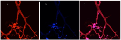 Directly imaging a cryosection of a 3D co-culture without staining. (a), Red channel - vascular network of endothelial cells expressed DsRed fluorescent proteins. (b), Blue channel - tumor cells expressing AmCyan fluorescent proteins. (c), Merged red and blue channels.