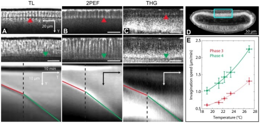 Assessing photoperturbation using THG imaging of cellularization dynamics in Drosophila embryos.Principle of cellular front invagination (CFI) speed measurement: (A), transmitted light imaging (wild-type embryo); (B), two-photon imaging (GFP-moesin-tagged embryo, outlining the cell boundaries); (C) and movie 1, THG imaging (wild-type embryo). The images in (A) – (C) are a zoom over the dorsal equatorial region of different embryos, corresponding approximately to the blue square in (D) on a THG image. Images (A) to (C) share the same scale bars. Top, phase 3 of cellularization; middle, phase 4 of cellularization; bottom, kymographs (YT projections) obtained from the time-lapse XY images, showing the propagation of the CFI over time. The dotted black time indicates the limit between phase 3 and phase 4, and the position of the CFI is indicated by a red (resp. green) line in phase 3 (resp. 4). Kymographs shown here as an example were obtained from time-lapse acquisitions with (A) 2 images/min; (B), 1 image/min; (C), 3 images/min. (E), CFI speed calibration as a function of temperature using transmitted light imaging. Errors bars are the standard deviations from 3 different embryos per temperature point.