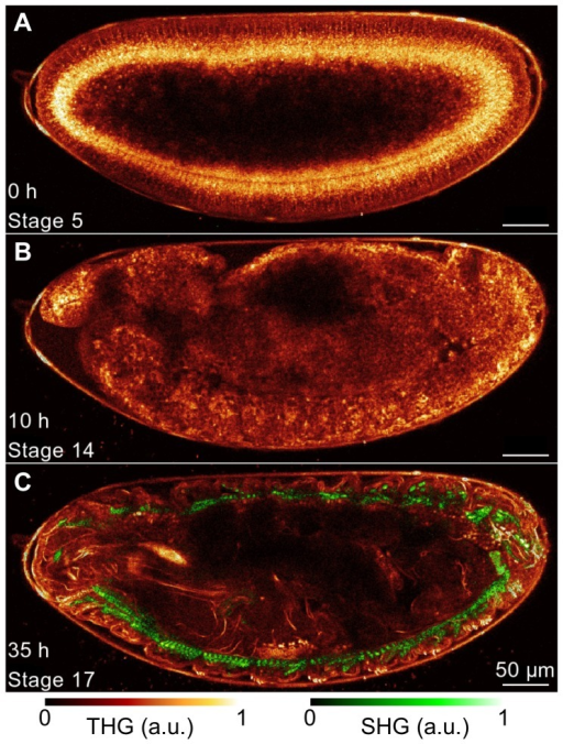 Long-term THG-SHG imaging of Drosophila embryonic development.2D THG-SHG imaging at a wavelength of 1180 nm of a wild-type Drosophila embryo during 36 hours starting from stage 5 up to the larvae stage (i.e. until hatching) and imaged during 3.3 s every 150 s, corresponding to an imaging rate of 2%. (A–C) representative 2D THG-SHG images at different stages of the development, with stage and time after the beginning of the acquisition mentioned in the bottom left. The look-up-table used to represent the SHG and THG signals are displayed below. Scale bar  = 50 µm. See also movie 2 for the full dataset.