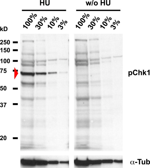 Detection of pGRP by a phosphospecific antibody for Chk1 by Western blotting.Western blot detecting pGRP with an antibody against phosphorylated Chk1 (pChk1) and α−Tubulin (α-Tub). Extracts were prepared from SR2+ tissue culture cells that were either untreated (w/o HU) or treated with HU (HU). Serial dilutions of the respective extracts were loaded (100% to 3%). The apparent molecular weight of marker proteins is indicated to the left (kD). The anti-Chk1 phospho-S345 antibody detects background bands in extracts from HU treated and untreated S2R+ cells, but only one band is induced by HU (arrowhead). The molecular weight of the respective band is in the range of the expected molecular weight of GRP (58 kD).DOI:http://dx.doi.org/10.7554/eLife.02443.014