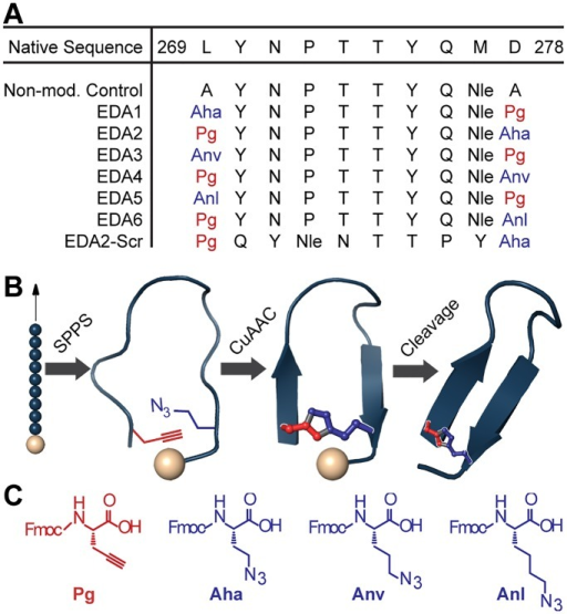 Design and synthesis of EDA peptides.(a) Peptide sequences were derived from the dimerization arm sequence of EGFR. The overall linker length and positioning of the azide and alkyne amino acids were varied. Non-natural amino acids are show in red and blue. (b) Dimerization arm mimics were synthesized by incorporating non-natural amino acids into the peptide sequence using solid phase peptide synthesis (SPPS). Peptides were cyclized on solid support via copper (I)-catalyzed azide-alkyne cycloaddition prior to resin cleavage. (c) Non-natural amino acids used for the triazole cross-link: N-Fmoc-L-propargylglycine (Pg), N-Fmoc-4-azido-L-homoalanine (Aha), N-Fmoc-5-azido-L-norvaline (Anv), N-Fmoc-6-azido-L-norleucine (Anl).