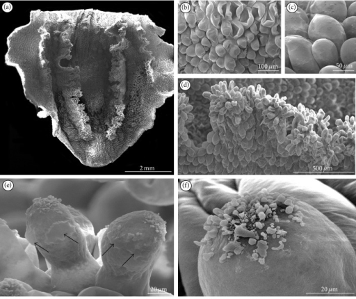 SEM studies of lip on the 8th day of anthesis. (a) Cordate epichile with papillate ridges. (b) Rounded (often sunken) cells from the furrow. (c) Rounded cells close to margin without secretions. (d) Papillate ridges with multicellular outgrowths. (e) Papillae with the cuticle swellings (arrows) at their backsides and secretion at their apices. (f) Secretion at the apex of papilla.