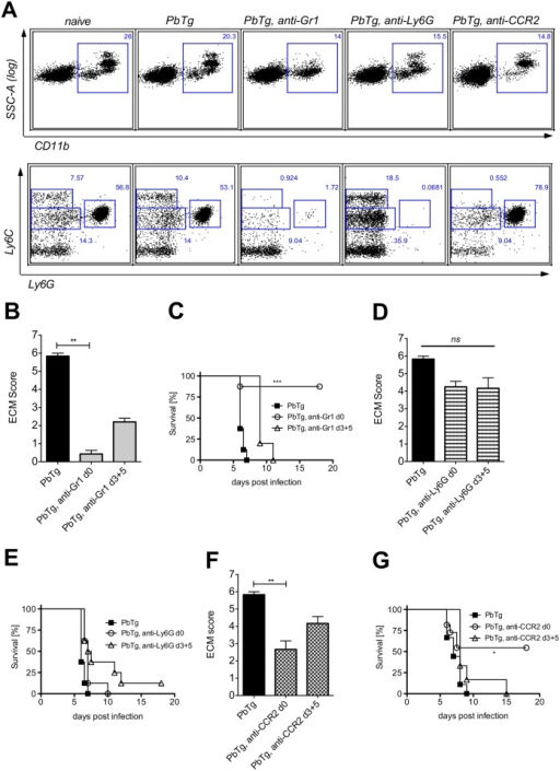 Early depletion of inflammatory monocytes protects PbTg infected mice against arising ECM.(A) Effective depletion of inflammatory monocytes (Ly6ChiLy6G-) or neutrophils (Ly6CintLy6G+) in the blood of PbTg-infected C57BL/6 mice upon treatment with anti-Gr1 (middle), anti-Ly6G (right), or anti-CCR2 (far right) monoclonal antibodies, on d+1 post depletion. CD11b+ leukocytes from the blood (upper row) were gated (squares) and analysed for the presence of Ly6C+Ly6G- monocytes and Ly6intLy6G+neutrophils (lower row) The data of the lower row correspond to data of the upper row. n = 4 mice per group. Flow cytometric analyses show a representative data plot for each group from 1 of 3 independent experiments. (B-G) Groups of PbTg-infected C57BL/6 mice were injected i.p. with anti-Gr1 mAb (B and C), anti-Ly6G mAb (D and E) or anti-CCR2 mAb (F and G) on the first day of infection (d0) or on days 3 and 5 p.i. (d3+5). Scores of cerebral pathology were determined on day 6 p.i. and bar graphs in B, D and F depict the mean and SEM of ECM score in individual mice (n = 8 mice per group). Statistical analysis was performed using Kruskal-Wallis test and Dunn's Post test (** p<0.01). Survival data shown in C, E and G were analyzed with Mantel-Cox log-rank test. p<0.05 was considered significant (* p<0.05, ** p<0.01, *** p<0.001). n = 10 mice per group.