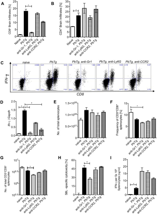 Early monocyte depletion prevents IFNγ producing T cell infiltration into the brain but does not affect peripheral PbTg-specific CTL responses.C57BL/6 mice were infected with 5*10e4 PbTg iRBC i.v.. Simultaneously, groups of mice received either anti-Gr1, anti-Ly6G or anti-CCR2 mAb. Six days later, T cell subsets in the brain and spleen were analysed and cellular immune responses were evaluated. (A) Frequencies of CD8+ cells and (B) CD4+ cells among brain infiltrates were determined by flow cytometry. Each group contained 4–5 mice. (C) Leukocyte preparations from the brains of individual mice were re-stimulated ex vivo and intracellular stained to determine the frequency of IFNγ producing CD8+ T cells. Representative images of brain derived IFNγ+CD8+ T cells by flow cytometry are shown. Calculated frequencies of CD8+ IFNγ+ T cells and CD8+ IFNγ+ T cells in the brains as analysed from (A) are shown in Table 1. (D) Fold increase of IFNγ mRNA levels relative to GAPDH in the brains of PbTg-infected mice ± d0 depletion on day 6 p.i. n = 6–8 per group, Kruskal Wallis test with Dunn's Post test was performed. (E) Total cell count of splenocytes from all d0 depletion groups and controls at day 6 p.i. (F) Frequency of CD3+CD8+ splenocytes in percent from all d0 mAb depletion groups and controls at day 6 p.i. (G) Calculated total amount of CD8+ splenocytes according to data from F and G. (H) In vivo cytotoxicity assay analysing PbTg-specific T cells. Recipient PbTg-infected mice, that were or were not additionally treated with depletion antibodies, received an adoptive transfer of CSFE-labelled T cells, that were loaded with ovalbumin-derived MHC class I peptide SIINFEKL and unloaded control cells i.v. (1x107/mouse) on day 5 p.i.. 18 hours later the level of lytic activity was measured by flow cytometry in the spleen. (I) In addition, splenocytes from the same animals as in (H) were re-stimulated with SIINFEKL ex vivo for 24 hours and IFNγ production was quantified by sandwich ELISA. (A-I) Bars show mean ± SEM from n = 4–5 mice per group from 1 out of 3 independent depletion-infection experiments. Statistical analysis was performed using Kruskal-Wallis test and Dunn's Post test and significant differences are indicated by the stars in brackets between the groups (* p<0.05, ** p<0.01).