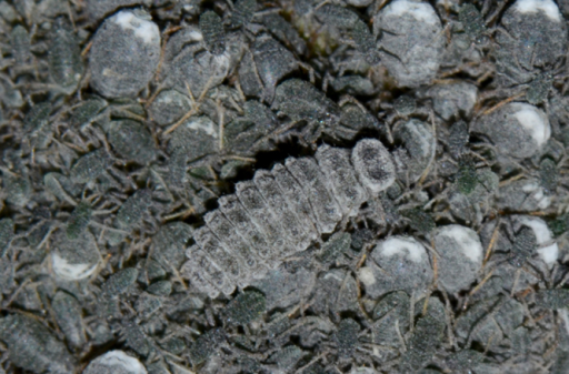 Larva feeding on Pseudoregmabambusicola ​on bamboo