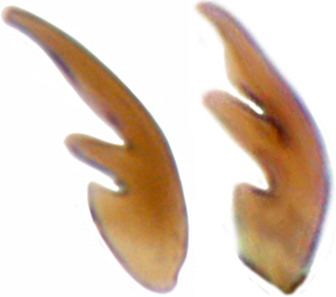Tarsal claw in female (left) and male (right)