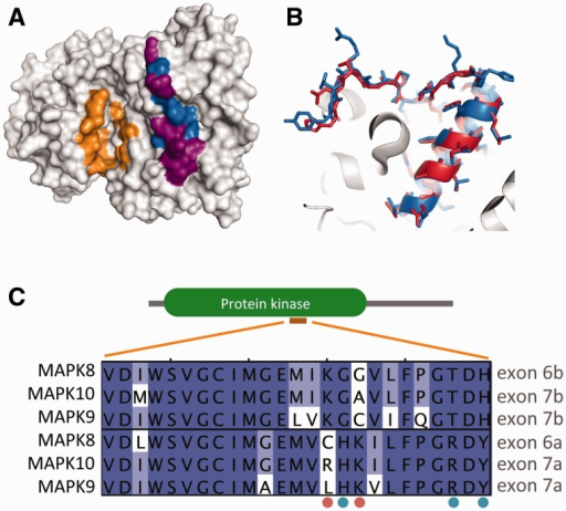 The 3D-structure of human MAPK8 (pdb code 3O17) is shown in (A) emphasizing the region corresponding to the MEHEs (blue), which of the residues coded by the MEHEs differ between alternative MAPK8 isoforms (purple) and the location of the active ATP-binding site (orange). (B) Direct comparison between the two alternative human MAPK8 isoforms (3O17 in blue, 1UKH in red), showing that most differences are found within the loop. (C) Multiple sequence alignment of MEHEs of JNKs (E6a and E6b in MAPK8), highlighting residues that are specifically conserved within each ancestral exon (blue dots) or that are conserved in one but variable in the other (orange dots).