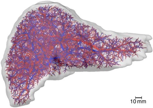 Human Liver Vascular Dataset.The image shows a visualization of a human liver shape including algorithmically refined vascular structures. The supplying vascular system, comprising portal vein and hepatic artery, is shown in red, the draining vascular system (hepatic vein) in blue.