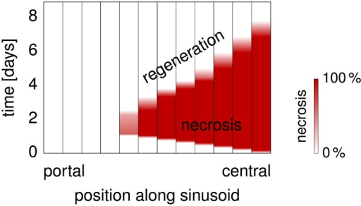 Necrosis and Regeneration.The plot shows how the spatial extent of the necrotic region evolves according to our model of the effect of CCl4 intoxication along a representative sinusoid of a mouse liver. The representative hepatocytes are separated by vertical black lines in this plot, A color range from white to red indicates zero to full necrotic damage of the respective representative hepatocyte. Necrosis develops during the first day, until a maximally necrotic state is attained. Subsequent regeneration starting on the second day leads to a shrinkage of the necrotic region until the end of day 7.
