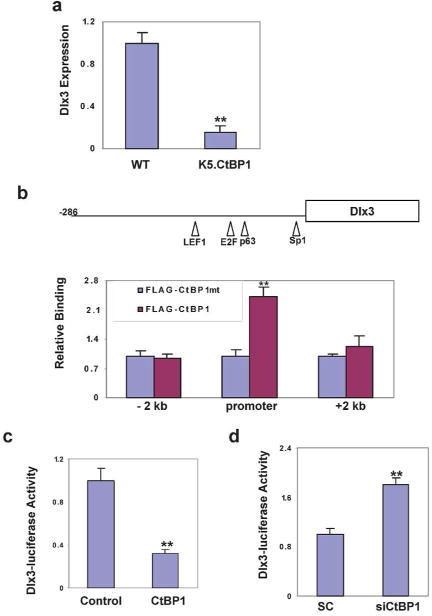 CtBP1 suppresses the Dlx3 gene transcription. (A) Down-regulation of the Dlx3 gene in K5.CtBP1 skins from 9 day-old mice. (B) CtBP1 binding to the Dlx3 promoter. ChIP assay was performed in keratinocytes after transfection with FLAG-tagged CtBP1-expressing vector, either wild type or the PLDLX-binding deficient mutant. ** p<0.01 vs. the PLDLX-binding deficient mutant (mt). (C) CtBP1 transfection represses the Dlx3 reporter. The pGL4.26 Dlx3 promoter reporter was generated by cloning the −286 to 0 bp fragment of the Dlx3 promoter. (D) siCtBP1 increases activity of the Dlx3 reporter. Fadu cells were transfected with scrambled siRNA (SC) or siRNA to CtBP1 (siCtBP1) and luciferase activity was measured.