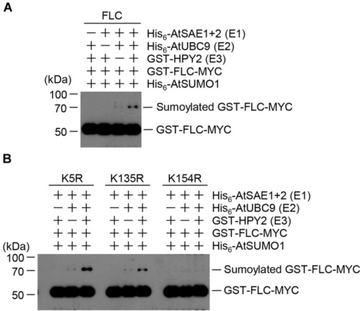 Flowering Locus C (FLC) is sumoylated by HPY2 in vitro.Arabidopsis His6-AtSAE1b, His6-AtSAE2, His6-AtSCE1, GST-HPY2, His6-AtSUMO1, and GST-FLC-Myc were overexpressed in E. coli and purified with Ni2+-NTA or glutathione affinity columns as appropriate. (A) Sumoylation of GST-FLC-Myc was assayed in the presence or absence of E1 (His6-AtSAE1b and His6-AtSAE2), E2 (His6-AtSCE1), E3 (GST-HPY2), and His6-AtSUMO1. FLC sumoylation was detected by Western blotting with anti-Myc antibody. (B) To identify the sumoylation site on FLC, GST-FLCm1-Myc (K54R), GST-FLCm2-Myc (K135R), and GST-FLCm3-Myc (K154R) were overexpressed in E. coli and purified using a glutathione affinity column. The reaction mixture contained E1 (His6-AtSAE1b and His6-AtSAE2), E2 (His6-AtSCE1), E3 (GST-HPY2), and His6-AtSUMO1 without (-) or with (+) a mutant protein instead of GST-FLC-Myc. FLC sumoylation was detected by Western blotting with anti-Myc antibody.