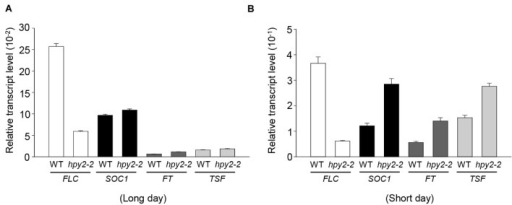 Transcript levels of flowering-related genes in hpy2-2 mutants. Total RNA was isolated from the leaves of WT and hpy2-2 mutant plants grown in soil under long (A)-or short-day (B) conditions. Transcript levels were examined using real-time qRT-PCR with gene-specific primers. Results are expressed as the mean ± SD (n = 3). FLC, FLOWERING LOCUS C; SOC1, SUPPRESSOR OF OVEREXPRESSION OF CO 1; FT, FLOWERING LOCUS T; TSF, TWIN SISTER OF FT.