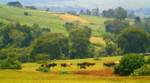 Typical landscape in Burie district during the rainy season. Cattle is grazing on a pasture and the risk of soil erosion due to overgrazing can be seen in the areas with bare soil. Land use is dominated by subsistence farming. Due to population growth, there is an increasing pressure to convert pastures into crop land, which increases the pressure on the remaining pastures. Indeed, in this mixed-crop livestock system, cattle plays an important role as oxen are needed to plough the fields