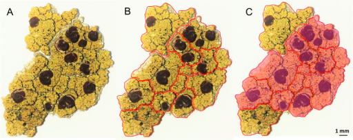 Longitudinal distribution of miriquidic acid in a piece of Ophioparma ventosa thallus (Tyrol sample).Piece of thallus (A). Division of a piece of thallus in small fragments (B). Rose patches refer to areas containing miriquidic acid, as revealed by TLC monitoring (C).