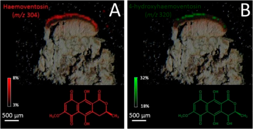Molecular images of naphthazarine pigments in the Tyrol sample of Ophioparma ventosa (A): haemoventosin m/z 304 and (B): 4-hydroxyhaemoventosin m/z 320). Intensities of ions in the imaged spots are color coded using a heat map with relative intensities given as indicated on the color scale bars.