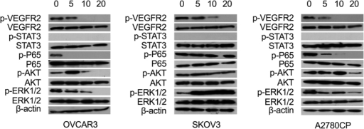 Effects of tivozanib on activation of pertinent oncogenic pathways.The cells were treated with tivozanib for 48 h then whole cell lysates were prepared and resolved by SDS PAGE. Samples were blotted for the phospho-form and re-probed for the respective total form of VEGFR2, STAT3, NF-κB p65, AKT and ERK1/2. β-actin was used as the loading control. The concentrations of tivozanib were 5, 10 and 20 μM. The blots are representative of three independent experiments with similar results.