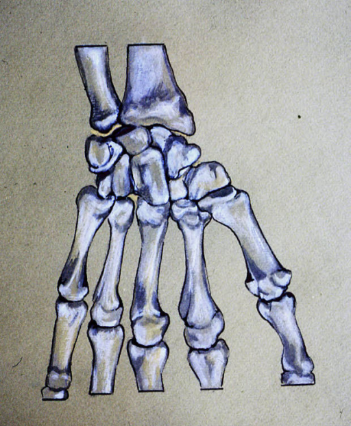 radius; ulna; carpals; digits of hand