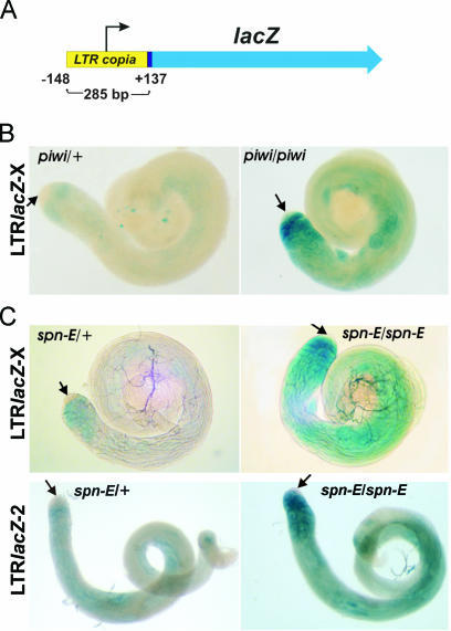 Overexpression of the copiaLTR-lacZ construct in piwi2 and spn-E1 testes. (A) The copiaLTR-lacZ construct comprises full-size copia LTR fused to the lacZ reporter. (B) X-gal staining of testes from piwi2 males carrying the copiaLTR-lacZ construct on the X-chromosome. (C) X-gal staining of testes from spn-E1 males carrying the copiaLTR-lacZ construct on the X (upper panels) and second chromosomes (lower panels). A level of lacZ expression is greatly increased in the homozygous piwi/piwi and spn-E/spn-E testes as compared with heterozygous piwi/+ and spn-E/+. Arrows indicate the apical tips of testes, where β-galactosidase activity is not detected.