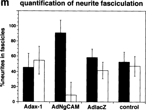 Expression of chicken axonin-1 and NgCAM in  mouse DRG explants: Cultured mouse DRG explants were infected with the adenoviral vectors AdCMVax-1 (a, b, e, and f)  and AdCMVNgCAM (c, d, g, and h), i–l represent uninfected  controls. 60 h after infection axonin-1 and NgCAM were detected on the cell surface by indirect immunofluorescence. For  immunofluorescence staining the axonin-1–specific monoclonal  antibody X7C11 and the NgCAM-specific monoclonal antibody  12-I-4E-311, and a Cy3-labeled donkey anti–mouse secondary antibody were used. Axonin-1 staining: a, b, and i (fluorescence optics; e, f, and k phase optics); NgCAM staining: c, d, and j (fluorescence optics; g, h, and l phase optics). Quantitative analysis of neurite fasciculation is represented  by m. In brief, for quantification individual neurites that stained positively for the heterologously  expressed protein were tracked from the periphery of the ganglion to a point at one-third of the total neurite length. Neurites that coalesced into bundles consisting of more than 4 neurites were  scored as the stronger fasciculated category (filled bars) and neurites found in bundles of less than  4 neurites belonged to the other category (empty bars). 50 neurites were scored per ganglion, n = 6  (6 ganglia were analyzed per sample). Bars represent means ± SD. Bars, 100 μm.