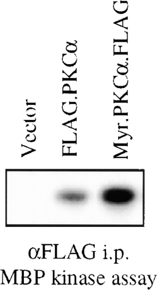 Analysis of wild-type and myristoylated PKC-α kinase activity. 293T cells were transfected with either the pCMV5 vector alone, the PKC-α-FLAG cDNA, or the myristoylated PKC-α-FLAG cDNA as described in Materials and Methods. These PKC proteins were immunoprecipitated using a FLAG-specific Ab. Expression of PKC-α was confirmed by immunoblotting these precipitates with a PKC-α specific Ab and this information was used to normalize PKC-α expression for the kinase assays (data not shown). Immune complex kinase assays were performed using MBP as the substrate as described in Materials and Methods.