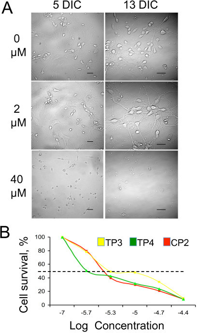 Treatment with TP compounds at low concentrations is not toxic for primary neuronal cultures. A. Survival of primary striatal neurons from control mice treated with different concentrations of CP2. Days in culture (DIC) and CP2 concentrations are indicated. Images were acquired using LSM 510 confocal microscope with 63 × or 100 × oil DIC lenses (1.4 na). Scale bars, 20 um. B. Lethal dose at which 50% of the neurons died (LD50) for all three TP compounds was estimated at day 6 after plating using LIVE/DEAD assay.