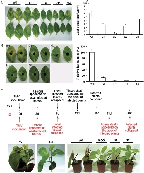 Resistance analysis of GmERF3 transgenic tobacco plants. (A) Resistance of transgenic tobacco to the bacterial pathogen Ralstonia solanacearum. Fully expanded leaves of 7-week-old tobacco plants were syringe-infiltrated with 107 cfu ml−1 solution of R. solanacearum. Disease symptoms in wild-type and GmERF3 transgenic plants are shown in the upper panel; leaves in the upper line were inoculated with bacteria, and leaves below the lower line were mock-inoculated. The photograph was taken 7 d after inoculation. Infected leaves were collected and bacterial populations are shown in the lower panel. Values are means of three different experiments. Error bars indicate the SE. (B) Responses of transgenic tobacco to the fungal pathogen Alternaria alternata. Detached leaves were challenged with mycelia of A. alternata. The photograph was taken 7 d following inoculation. Disease symptoms are shown on the right. The average lesion area of each independent transgenic line (n=4) was calculated and their relative lesion areas are shown in columns after comparison with the average lesion area on wild-type tobacco. (C) Time-course for the systemic spread of TMV in wild-type and GmERF3 transgenic tobacco plants. The line in the middle of the upper panel indicates time. Notes above and below the line describe symptoms of wild-type and GmERF3 transgenic tobacco plants caused by TMV infection and spread, respectively. WT and G represent the wild-type and GmERF3 transgenic plants, respectively. Photographs were taken 12 d (right and middle of the lower panel) and 16 d (left of the lower panel) after inoculation. Arrows indicate TMV-inoculated leaves or mock-inoculated leaves. (This figure is available in colour at JXB online.)