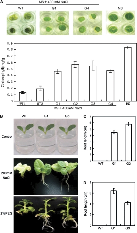 GmERF3 enhances tolerance to salt and drought in tobacco. (A) Chlorophyll contents in transgenic tobacco leaf tissues after salt treatment. Leaf discs from transgenic plants carrying the GmERF3 gene and wild-type plants were floated on half-strength MS liquid medium containing 400 mM NaCl for 5 d. As a control, wild-type leaf discs were floated on half-strength MS liquid medium. Phenotypic differences were observed and chlorophyll contents (mg g−1 fresh weight) were measured from NaCl-treated leaf discs of 35S::GmERF3 transgenic and wild-type tobacco plants. The experiments were repeated twice, each time with 4–8 leaf discs. (B) Phenotypes on half-strength MS medium containing 200 mM NaCl or 2% PEG were photographed 30 d after treatment. Control indicates seedlings before treatment. (C) Root lengths of seedlings after salt treatment; the data shown are relative to the control plus SD. (D) Root lengths of seedlings after drought treatment; data are relative to the control plus SD. (This figure is available in colour at JXB online.)