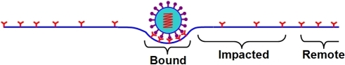 Schematics of endocytosis of a single NP.The membrane is partitioned into three regions due to the wrapping: the bound region of area , the impacted region of area , and the remote region of area .