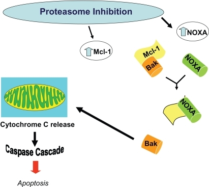 Alteration in levels of Mcl-1 and NOXA results in apoptosis. Proteasome inhibiton increases levels of the proapoptoic factor NOXA, which then can override the concurrent increase in the anti-apoptic factor Mcl-1, thereby inducing the activation of caspases, and resulting in apoptosis.