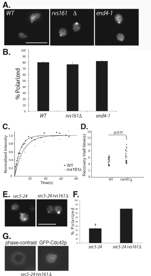 Cdc42p polarization in endocytosis mutants. (A) The wild-type, rvs161Δ, and end4-1 cells were grown to log phase, incubated at 37°C for 90 min, fixed, and immunostained for Cdc42p. Cdc42p is polarized in the endocytosis mutants. Scale bar = 10 μm. (B) Quantification of Cdc42p polarization in wild-type, rvs161Δ, and end4-1 cells. Fifty cells were counted for each group (n = 3). Error bars represent standard error. (C) FRAP curves of GFP-Cdc42p in wild-type and rvs161Δ cells. The normalized fluorescence intensity is plotted over time using SigmaPlot. (D) Recovery half-times for GFP-Cdc42p in wild-type and rvs161Δ cells. Bottom and top of the box are the lower and upper quartiles, respectively. The band near the middle of the box is the median. Whiskers represent standard errors. n = 25, p ≤ 0.01. (E) The sec5-24 and sec5-24 rvs161Δ cells were grown to early log phase, shifted to 35°C for 90 min, fixed, and immunostained for Cdc42p. Although mostly depolarized in the sec5-24 mutant, Cdc42p is well polarized in the sec5-24 rvs161Δ double mutant cells. (F) Quantification of Cdc42p polarization in the sec5-24 and sec5-24 rvs161Δ double mutant cells. Fifty cells were counted for each group (n = 3). Error bars represent standard error. *, p ≤ 0.01. (G) The sec5-24 rvs161Δ cells were transformed with GFP-Cdc42, grown to early log phase, and shifted to 35°C for 90 min. GFP-Cdc42p was then observed using fluorescence microscopy. GFP-Cdc42p is enriched at daughter cell plasma membrane.