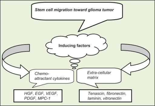 Stem cell migration is related to two groups of inducing factors of chemo-attractant cytokines and extracellular matrix.