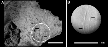 Anthropogenic modifications observed on a right temporal human bone from Buran-Kaya III, layer 6-1.A, location of the cut marks on the exocranial surface (black arrows), lateral view. B, stereomicroscopic image of the mould. Scale bars equal 1.0 cm.