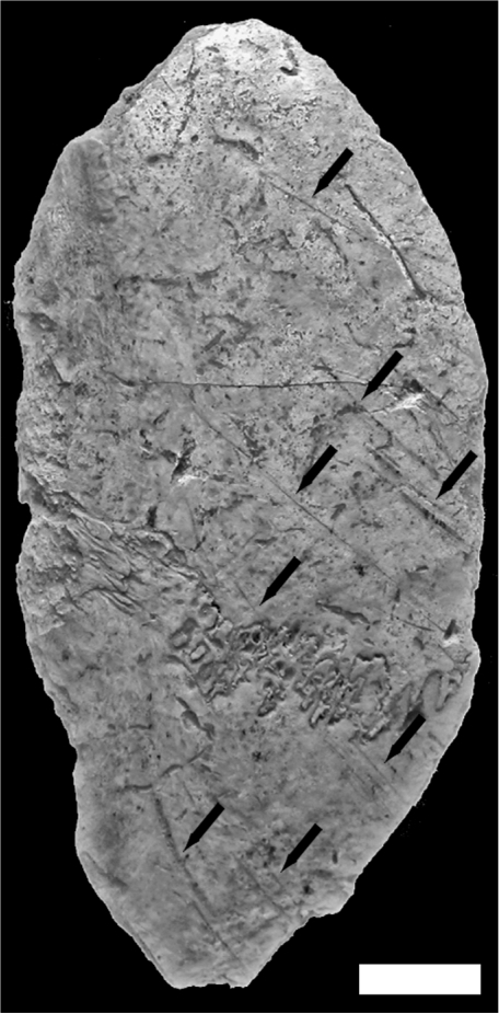 Anthropogenic modifications observed on a left fronto-parietal human bone fragment from Buran-Kaya III, layer 6-1.Superior view, scale bar equals 1.0 cm.