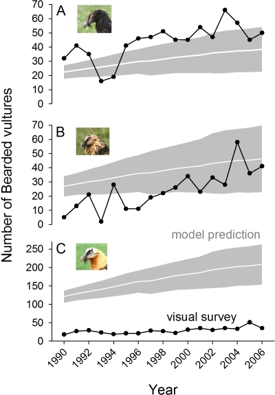 Annual variation in the estimates of a bearded vulture population through visual surveys (dark line) and population matrix-modelling approximations (white line with±sd in grey) for immature (<2 yrs old, A), subadult (3–5 yrs old, B) and adult (>6 yrs old, C) individuals.Note the different y-axis scales.