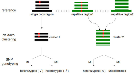 Schematic illustration of an occurrence of a false SNP afterde novoclustering of reads derived from repetitive genomic regions. Both ML and iML perform well in the genotyping of SNPs derived from single-copy genomic regions (left), but iML is more efficient to identify and exclude false SNPs resulting from repetitive regions (right).