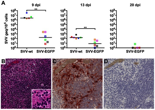 Detection of SVV in lymphoid organs from infected African green monkeys.(A) Real-time qPCR analysis of SVV DNA load in tonsil, lymph nodes and spleen from SVV-wt− (closed squares) and SVV-EGFP− (open squares) infected monkeys at 9, 13 and 20 dpi. Squares indicate individual tissues, i.e., tonsils (red), tracheobronchial lymph nodes (LN) (green), axillary LN (pink), mandibular LN (blue), inguinal LN (orange) and spleen (black). Horizontal bar indicates the median value. (B–D) Serial sections of tonsil from an SVV-wt−infected monkey stained with hematoxylin and eosin (inset shows a Cowdry type A intranuclear inclusion body) (B) or examined immunohistochemically using rabbit anti-SVV antibodies (C) or control normal rabbit serum (D). Magnification: 200×. The area of tonsils containing multiple intranuclear inclusion bodies contained numerous cells expressing SVV protein. **p<0.01 by Mann-Whitney test.