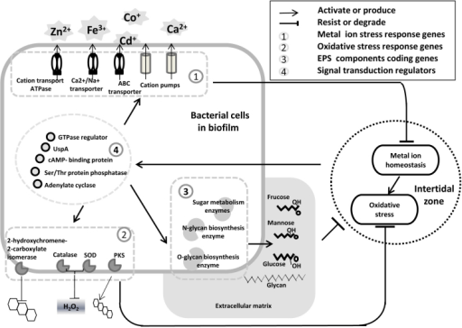 Schematic model of microbial reactions triggered by oxidative and metal ion stresses in intertidal biofilms.Stress signals activate signal transduction pathways within bacterial cells, resulting in transporter activation, secondary metabolism and EPS production.