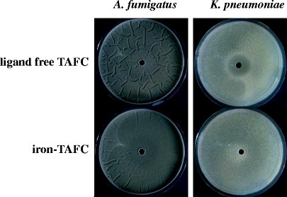 Siderophore utilisation assay demonstrating that growth of K. pneumoniae is in contrast to that of A. fumigatus inhibited by ligand-free TAFC.