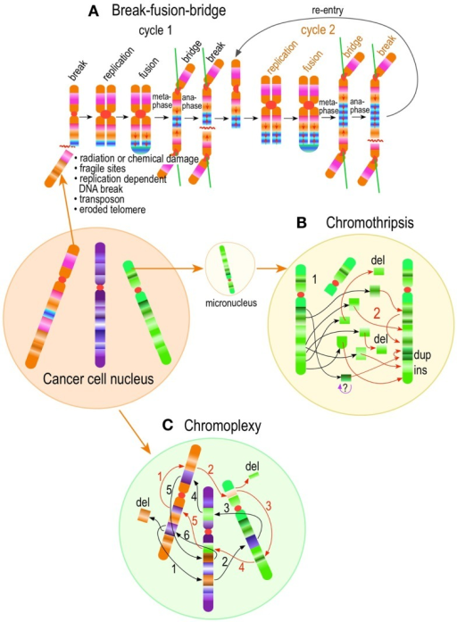 "Chromoanagenesis in cancer. Complex structural chromosome rearrangements in cancer, involve stepwise or punctual chromosome restructuring. It includes stepwise classic intra or inter-chromosomal break-fusion-bridge cycles (A); chromothripsis (B), which are punctual localized highly complex chromosome fragmentation (1) and rejoining (2) events, and chromoplexy (C), in which complex linked translocation events involving multiple chromosomes presumably occur simultaneously. 1 through 6 (black typeface) and 1 through 5 (orange typeface) represent two such linked ""chained"" events."