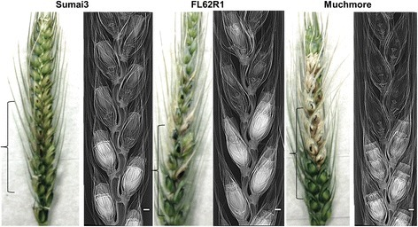 Images of diseased and healthy florets in the spikelets of wheat cultivars using phase contrast X-ray imaging at 4 days after inoculation with FHB. The spikelets were kept inside a 18 mm diameter falcon tube and X-ray images were recorded at 18 keV using a 8.75 μm resolution detector. Brackets indicate the imaged part of the wheat spike. Scale bars indicate 1 mm.