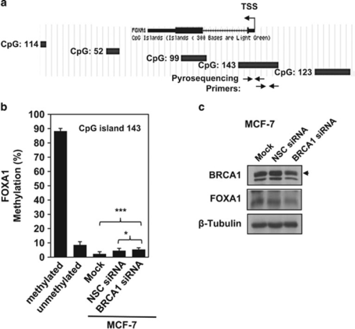 Knockdown BRCA1 in MFC-7 cells induces FOXA1 promoter methylation. (a) Schematic representation, as presented on UCSC genome web browser, of the location of CpG islands in the human FOXA1 gene and the position of primers used for pyrosequencing analysis. (b) MCF-7 cells were either non-transfected (Mock) or transfected with NSC siRNA or with FOXA1 siRNA-specific pool. Forty-eight hours post transfection, DNA was extracted, bisulphite converted and analyzed by pyrosequencing. Average FOXA1 methylation values of the two analyzed regions within the CpG island 143, located in the FOXA1 promoter region, are shown. (c) Western blot analysis was performed to determine protein expression of BRCA1, FOXA1 and β-Tubulin (arrows indicate specific protein band) in MCF-7 cells. Results are presented as the mean±s.d. from two independent experiments in triplicates. *P<0.05, ***P⩽0.001 by Student's t-test. TSS, Transcription start site.