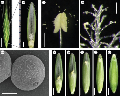 Flower structure and endosperm development. (a) Spikelet. (b) Floret. (c) Dehiscent anther and pollen grains. (d) Pollen grains attached to the stigma. (e) SEM image of the pollen surface structure. (f–j) Endosperm development towards BBCH71 (i) and BBCH73 (j). Scale bars: (a) 5 mm; (b) 1 mm; (c) 500 µm; (d) 200 µm; (e) 10 µm; (f–j) 1 mm.