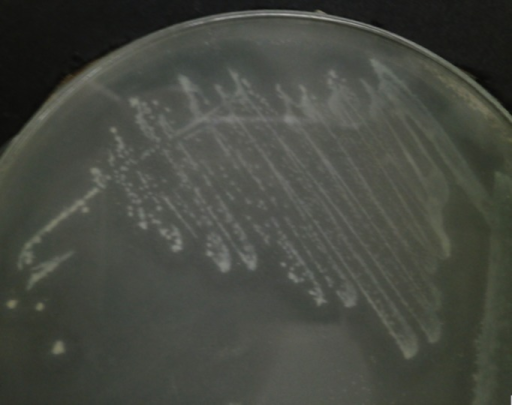 C. neteri SSMD04 grown on medium containing 0.5% corn oil.The halo zone around the colonies indicate lipase activity.