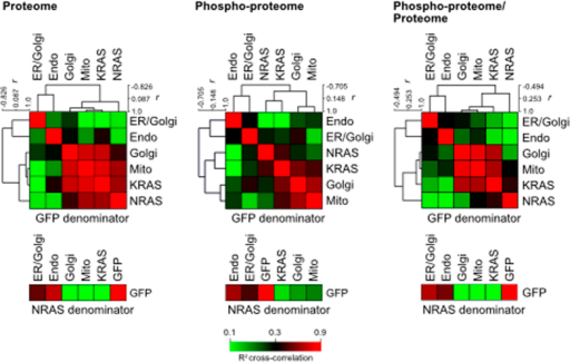 Compartment-specific Ras network responses.Proteome and phosphoproteome cross-correlations among six Ras (G12V) distinct organellar locations using either GFP or NRAS (G12V) in the denominator of log2-transformed intensity ratios. High correlation values (near 1.0) were red-coloured and clustered together. The influence of changes in protein abundance in the proteome on the their cognate phosphosite responses was removed in the final cross-correlation matrix (Phospho-proteome/Proteome) to reveal high correlation between KRAS, Golgi-Ras and mito-Ras phosphosite responses. Analysis was performed on ratios from MaxQuant analysis of n = 3 biological repeats.