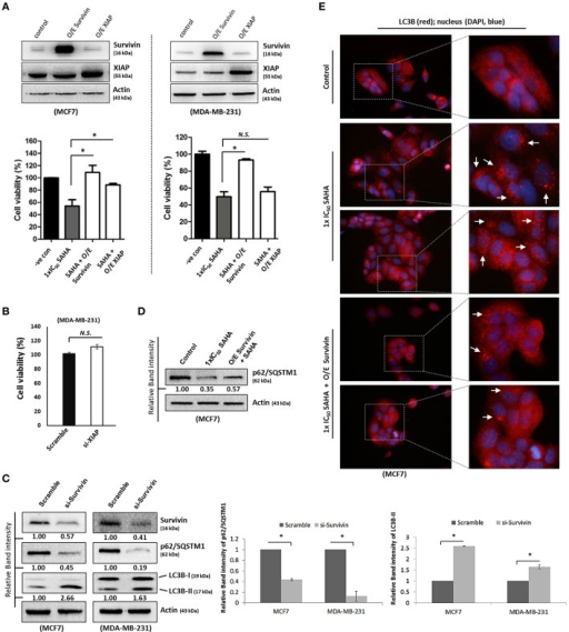 "Survivin plays an important role in SAHA-induced autophagy in breast cancer cells. (A, upper panels) MCF7 and MDA-MB-231 cells were transfected with either pCMV-XL (control), pCMV-XL4-survivin [overexpresses (O/E) survivin] or pCMV-XL-5-XIAP (O/E XIAP) plasmid for 72 h. Expression of different proteins was analyzed by Western blotting. (A, lower panels) MCF7 and MDA-MB-231 cells were transfected with pCMV-XL (control), pCMV-XL4-survivin (O/E survivin) or pCMV-XL-5-XIAP (O/E XIAP) for 24 h prior to 72 h SAHA treatment. Cell viability was assessed by MTT assay. Experiment was repeated three times. A statistically significant difference in the viability of cells treated with O/E survivin or O/E XIAP + SAHA vs. SAHA alone is denoted by ""*"" (p < 0.05). ""N.S.,"" denotes no significant difference between the testing groups. (B) MDA-MB-231 cells were treated with either scramble siRNA or XIAP-specific siRNA (si-XIAP) for 72 h and cell viability was analyzed by MTT assay. (C) MCF7 cells were treated with either scramble siRNA or survivin-specific siRNA (si-Survivin) for 72 h. Expression of various proteins was analyzed by Western blotting. The numbers under each survivin blot are intensity of the blot relative to that of the scramble control. Signals in the p62/SQSTM1 blots (of all repeats) were quantitated and a graph was generated to show the effect of survivin on the expression of p62/SQSTM1. (D) Cells were transfected with pCMV-XL (control) for 72 h, pCMV-XL (control) for 24 h followed up with 48 h SAHA co-treatment, or pCMV-XL4-survivin (O/E survivin) for 24 h followed up with 48 h SAHA co-treatment. Expression of p62/SQSTM1 was analyzed by Western blotting. (E) Cells were transfected with pCMV-XL (control) for 72 h, pCMV-XL (control) for 24 h followed up with 48 h SAHA co-treatment, or pCMV-XL4-survivin (O/E survivin) for 24 h followed up with 48 h SAHA co-treatment. Formation of LC3B (red fluorescent) puncta in cells was observed under a fluorescence microscope and pointed out by the arrows in the photos. Nuclei were counterstained blue with DAPI."