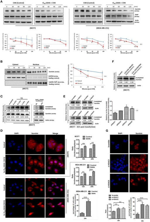 "SAHA decreases the protein stability of survivin and XIAP in breast cancer cells. (A) Breast cancer cells were treated with 1x IC50 SAHA for 72 h. Cycloheximide (CHX) was added 72 h post-SAHA treatment to the cells to inhibit de novo protein synthesis. Cells were then harvested at the time points indicated and expression of survivin and XIAP was analyzed by Western blotting. Experiments were repeated three times and representative blots were shown. Signals in the blots (of all repeats) were quantitated and a graph was generated to compare the degradation rates. A statistically significant difference in the mean of the relative band intensity (of all repeats) of survivin and XIAP in cells treated with SAHA vs. without SAHA (control) at the same time point is denoted by ""*"" (p < 0.05), ""**"" (p < 0.01), or ""***"" (p < 0.001). (B) MCF7 cells were treated with cycloheximide to inhibit the de novo protein synthesis process. Nucleic proteins and cytoplasmic proteins were isolated using cells fractionation assay. Expression of survivin was analyzed by Western blotting. Equal protein loading was verified by either lamin A/C or GAPDH. The numbers under each blot are intensity of the blot relative to that of the control (0 h). Signals in the blots (of all repeats) were quantitated and a graph was generated to compare the degradation rates. A statistically significant difference in the mean of the relative band intensity (of all repeats) of nuclear survivin and cytosolic survivin is denoted by ""*"" (p < 0.05). (C) MCF7 cells were treated with SAHA and expression of the acetylated survivin was analyzed by Western blotting. (D) Breast cancer cells were treated with 2x IC50 SAHA for 24 h. Intracellular distribution of survivin was analyzed using immunofluorescence confocal microscopy. Nucleus was stained blue with DAPI. Survivin was labeled red in the photo. Relative expression of nucleic and cytoplasmic survivin in cells treated with/without SAHA was quantified. Experiment was repeated three times. A statistically significant difference in the nucleus/cytoplasm ratio of red fluorescence (survivin) intensity in cells with SAHA vs. without SAHA (control) is denoted by either ""**"" (p < 0.01) or ""***"" (p < 0.001). Percentage of cells with red fluorescence signal higher in the nucleus than in the cytosol in cells treated with or without SAHA was also quantified. (E) MCF7 cells were transfected with HDAC1, 2, 3, or 6 siRNA for 36 h. Expression of acetylated survivin was determined by Western blotting. Signals in the acetylated survivin blots (of all repeats) were quantitated and a graph was generated to show the effect of different HDAC isoforms on the expression of acetylated survivin. A statistically significant difference in the expression of acetylated survivin in cells treated with HDAC1, 2, 3, or 6 siRNA vs. scramble siRNA is denoted by ""*"" (p < 0.05). (F) MCF7 cells were treated with or without BML281 and RGFP966 for 48 h. Expression of acetylated survivin was determined Western blotting. (G) MCF7 cells were transfected with scramble, HDAC3 or HDAC6 siRNA for 36 h. Intracellular distribution of survivin was analyzed using immunofluorescence confocal microscopy. Nucleus was stained blue with DAPI. Survivin was labeled red in the photo. Relative expression of nucleic and cytoplasmic survivin in cells treated with scramble, HDAC3 or HDAC6 siRNA was quantified. Experiment was repeated three times. A statistically significant difference in the nucleus/cytoplasm ratio of red fluorescence (survivin) intensity in cells treated with HDAC3 or 6 siRNA vs. scramble siRNA is denoted by ""**"" (p < 0.01). Percentage of cells with red fluorescence signal higher in the nucleus than in the cytosol in cells treated with or without HDAC3 and HDAC6 siRNA was also quantified."
