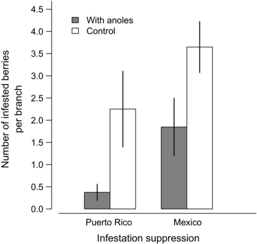 Mean number of coffee berries infested by the coffee berry borer (±1SE) in the presence and absence of Anolis lizards in laboratory settings