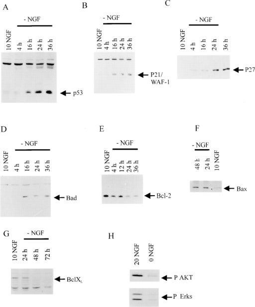 p53 and its transcriptional targets, p21 and Bax, are increased during NGF-withdrawal induced apoptosis of sympathetic neurons. (A–G) Western blot analysis of equal amounts of  protein derived from sympathetic neurons either maintained in  10 ng/ml NGF (NGF), or at various timepoints from 4 to 48 h after withdrawal of NGF (−NGF).Western blots were probed with  antibodies specific to p53 (A), p21 (B), p27 (C), Bad (D), Bcl-2  (E), Bax (F), or Bcl-xl (G). Note that p53, p21, p27, Bad, and Bax  all increase after NGF withdrawal, whereas Bcl-2 and Bcl-xl decrease. (H) Western blot analysis of equal amounts of protein derived from sympathetic neurons either maintained in 20 ng/ml  NGF, or withdrawn from NGF for 12 h (0 NGF). Western blots  were probed with antibodies specific to phosphorylated forms of  Akt (P AKT) or ERKS (P Erks). Note that phosphorylation of  these TrkA targets was significantly decreased after NGF withdrawal.